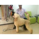 Poodle Estandar Y/o Caniche Gigante Pedigre Internacional
