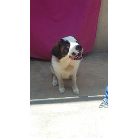 Cachorro San Bernardo