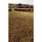 Corderos Para El Campo