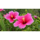 Flores Hibiscus Pack Semillas