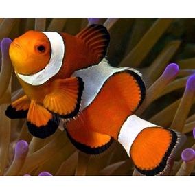 Peixe Palhaço Ocellaris Tiny (pq) 4 Por R$ 150,00