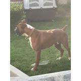 Semental Boxer Europeo, Monta Gratis A Cambio De Un Cachorro