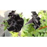 30 Semillas De Petunias Negras Únicas En Argentina
