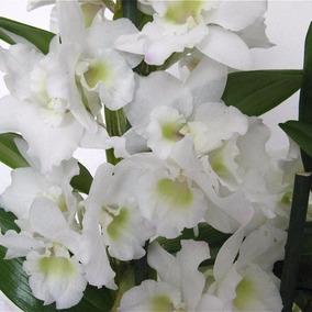 100 Sementes De Orquídea Dendrobium Branca - Com Garantia