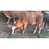 Becerras Beefmaster
