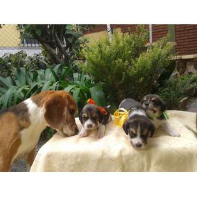 Cachorros Beagles Tricolor