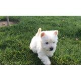 West Highland White Terrier O Westy