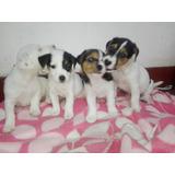 Jack Russell Terrier En Venta