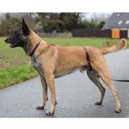 Coleira Para Virilha Dos Cães - Knut Fuchs