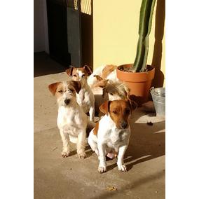 Criadero De La Pisada- 9 Años Criando Jacks Russell Terrier