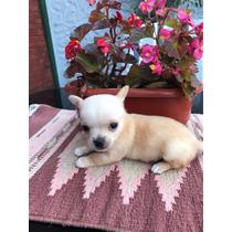 Chihuahua Machito Mini Cachorros_increibles