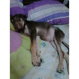 Adopción De Cachorros Labrador