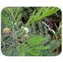 20 Sementes De Leucena Leguminosa Forragem Criação Animal