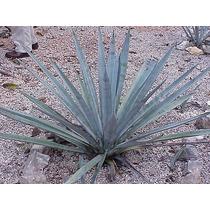 Agave Azul ( Planta ) , Tequilana Weber 8 A 15 Cm