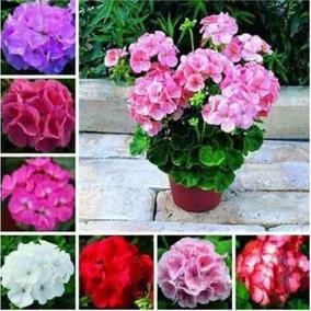 30 Sementes Kit Gerânio Planta Flores Bonsai # Envio Já
