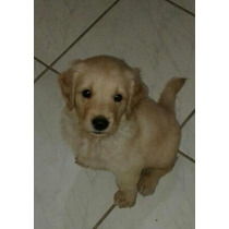 Golden Retriever Hembras