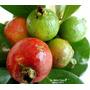 Araçá Anão Vermelho Muda Com 40 Cm Produz Em Menos De 1 Ano