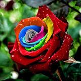 100 Sementes De Rosa Arco-iris Raras E Exóticas /para Mudas