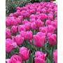 Combos De 6 Tulipanes Multicolores De La Patagonia!!