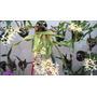 Orquidea Miltonia Flavescens Oferta Ya Sin Flor