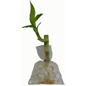 Planta Bambu De La Suerte Natural Regalito Adorno Decoracion