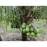 Coqueiro Anão Muda Com 80 Cm - Cocos Nucifera L.