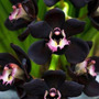 50 Semillas Orquideas Black Cymbidi Flores Planta Envio Grat