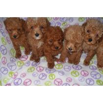 Cachorros Caniches Toy Machos Rojos