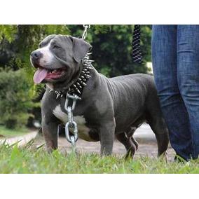 Coleira Couro Com Spikes Para Cães Pitbull Rotweiller #rlo0