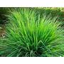 Mudas Citronela - Cymbopogon Winterianus - Cada R$ 1,85