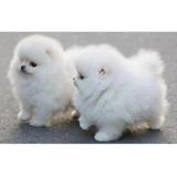 Lindos Cachorros De Pomerania En Venta