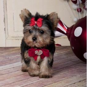 Lindos Filhotes De Yorkshire Terrier Baby Face Fêmeas