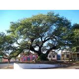 100 Sementes Santa Barbara Árvore Madeira Tábua Caixa Casa