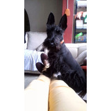 Scottish Terrier Negros