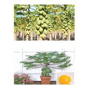Mamão Anão Do Amazonas - Papaya - Sementes Frutas Para Mudas