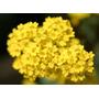 200 Sementes Flor Alyssum Corbeille D