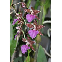 Orquideas Oncidium Madera 11x11 Natural 5-8 Pseudobulbos Wii
