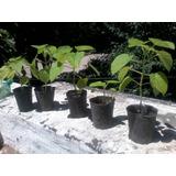 Plantines De Kiri Paulownia Tomentosa