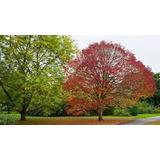 Árbol Fresno Rojo 4º Tamaño 3.50mts En Terrón, Ezeiza-envíos
