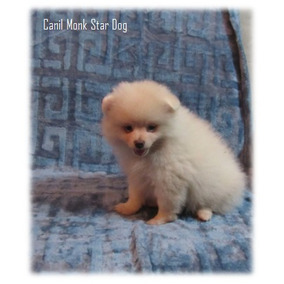 Spitz Alemao Pequeno Macho Branco Perola,lulu Da Pomerania