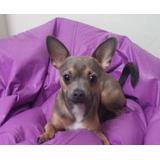 Chihuahua Macho Busca Novia!