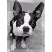 Boston Terrier Ofrece Servicio De Monta