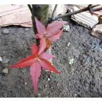 Kit P Muda/ Acer+pinheiro+cipreste+sakurá+rosa Deser Adenium