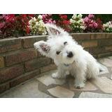 Westy Terrier White Cachorro Puro