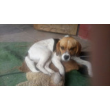 Perrita Fox Terrier Chileno