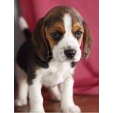 Cachorros De Beagle Para Adopción