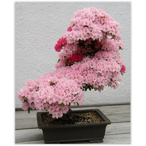 Sakura Cerejeiras Bonsai Rosa Flor Gramas Jardim 10 Sementes
