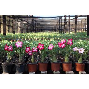5 Mudas Rosa Do Deserto Adenium Com 1 Ano Idade