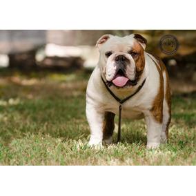Bulldog Ingles Gran Campeon Argentino En Servicio De Stud