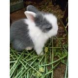 Oferta!!! Hermosos Conejos Cabeza De León Bebés